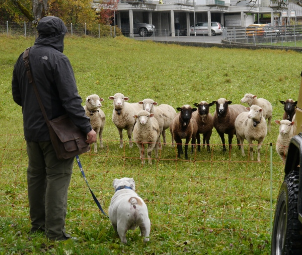 This was hilarious...Caesar is a sheep whisperer. The sheep just stared at him. He couldn't have cared less.