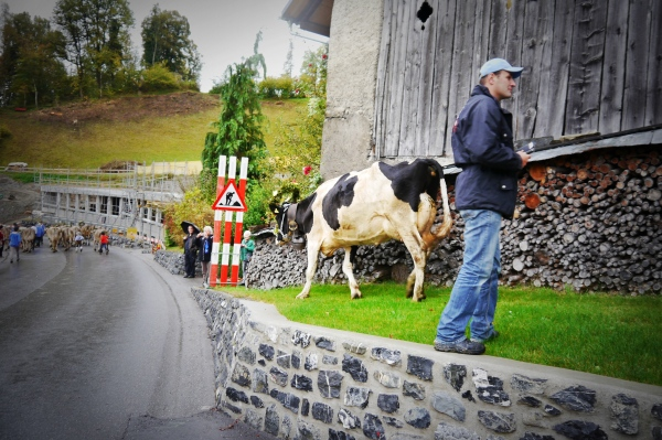 This cow was over going down the mountain and jumped up on this ledge instead!